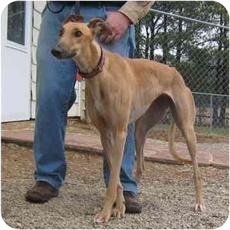 Greyhound Dog for adoption in Oak Ridge, North Carolina - Reese
