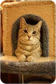 Domestic Shorthair Cat for adoption in Okotoks, Alberta - Charlene