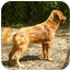 Photo 3 - Golden Retriever Mix Dog for adoption in FOSTER, Rhode Island - Tawney