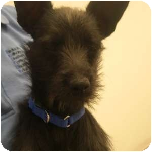 Terrier (Unknown Type, Small) Mix Dog for adoption in Phoenix, Arizona - Jade