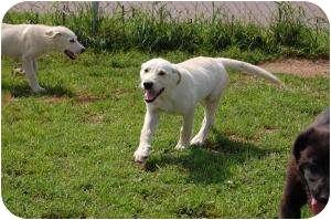 Labrador Retriever Mix Puppy for adoption in Barron, Wisconsin - Clark