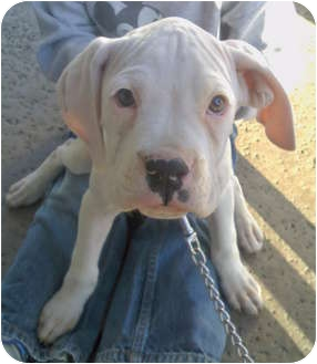 Boxer Puppy for adoption in Long Beach, California - Frankie