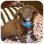 Photo 2 - Dachshund Mix Puppy for adoption in Tustin, California - Oscar