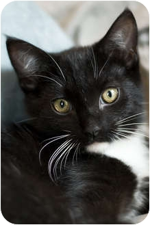 Domestic Shorthair Kitten for adoption in Chicago, Illinois - Columbus