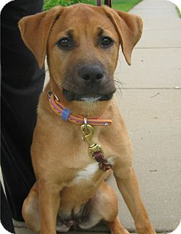 Boxer/German Shepherd Dog Mix Puppy for adoption in Schaumburg, Illinois - Aspen