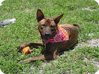 Basenji/Dutch Shepherd Mix Dog for adoption in hollywood, Florida - Butchie