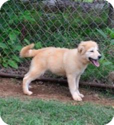 Great Pyrenees/Labrador Retriever Mix Puppy for adoption in Douglasville, Georgia - Marsha