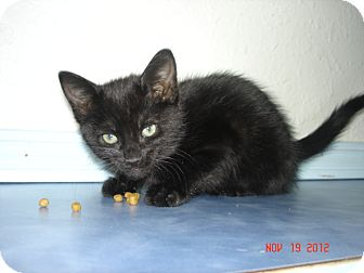American Shorthair Kitten for adoption in Stilwell, Oklahoma - Velvet