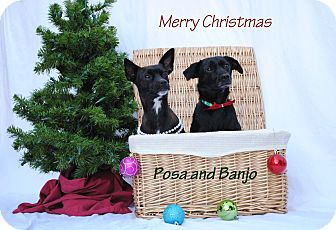 Papillon/Chihuahua Mix Dog for adoption in Bloomington, Minnesota - Banjo