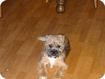 Shih Tzu/Terrier (Unknown Type, Small) Mix Dog for adoption in Syacuse, New York - Bruster
