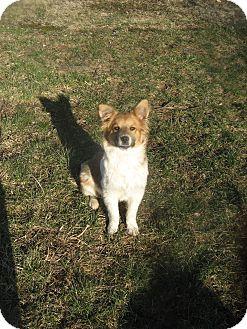 Collie/Australian Shepherd Mix Puppy for adoption in Columbus, Ohio - Paws