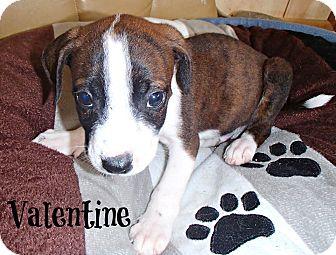 Boxer/American Bulldog Mix Puppy for adoption in Groton, Massachusetts - Valentine