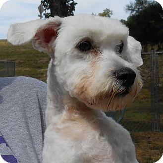 Maltese Mix Dog for adoption in Murphysboro, Illinois - Blanco
