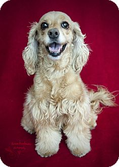 Cocker Spaniel Dog for adoption in Rancho Mirage, California - Princess