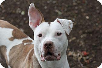 Hound (Unknown Type) Mix Dog for adoption in Brookhaven, New York - Brewster