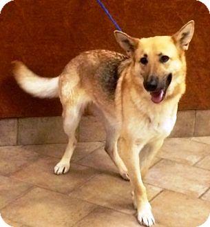 German Shepherd Dog Dog for adoption in Oswego, Illinois - Lady