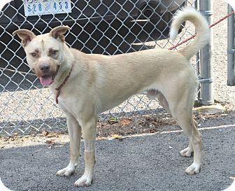 Pit Bull Terrier/Labrador Retriever Mix Dog for adoption in Morgantown, West Virginia - Lemon