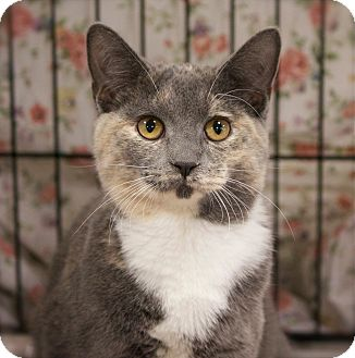 Domestic Shorthair Kitten for adoption in Lombard, Illinois - Amity