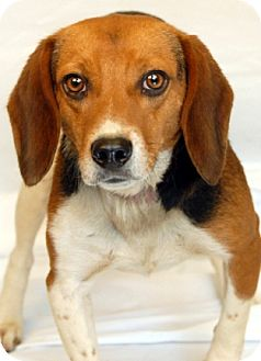 Beagle Mix Dog for adoption in Newland, North Carolina - Rock