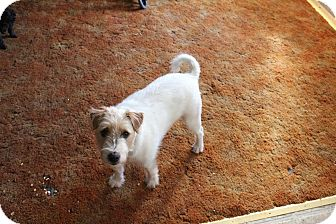 Jack Russell Terrier Dog for adoption in Blue Bell, Pennsylvania - Winston