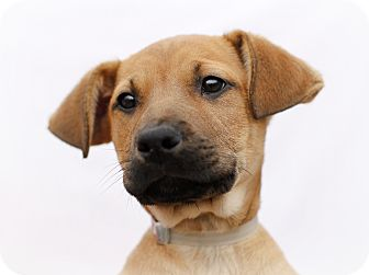 Labrador Retriever/Shepherd (Unknown Type) Mix Puppy for adoption in Marietta, Georgia - Rikka