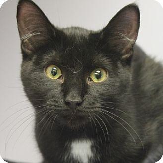 Domestic Shorthair Kitten for adoption in Naperville, Illinois - Lulu