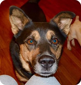 German Shepherd Dog/Husky Mix Dog for adoption in Hagerstown, Maryland - Buddy