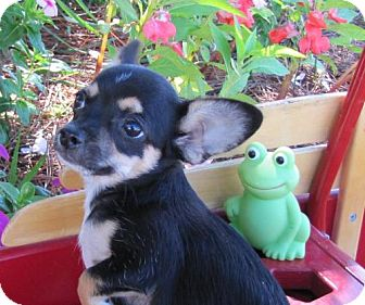 Chihuahua Mix Puppy for adoption in Port St. Joe, Florida - Ray