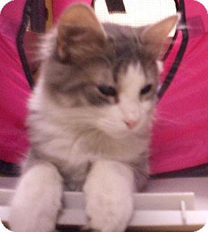 Domestic Mediumhair Cat for adoption in Lenexa, Kansas - Muscat