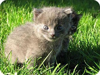 Domestic Mediumhair Kitten for adoption in Seahurst, Washington - Rascal - Adopted
