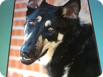 German Shepherd Dog Dog for adoption in Los Angeles, California - DUFFY VON DIFEL