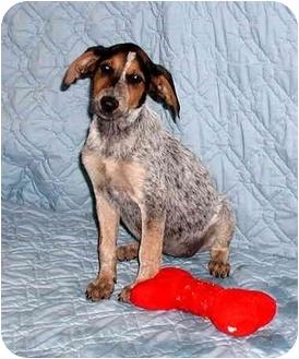 Bluetick Coonhound Mix Puppy for adoption in Ephrata, Pennsylvania - Minnie