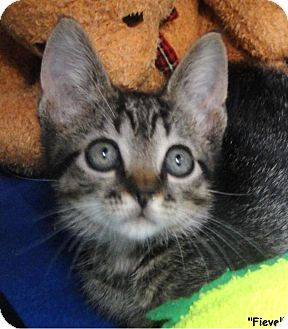 Domestic Shorthair Kitten for adoption in Key Largo, Florida - Fievel