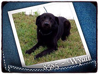 Labrador Retriever/Shepherd (Unknown Type) Mix Dog for adoption in Dillon, South Carolina - Wyatt