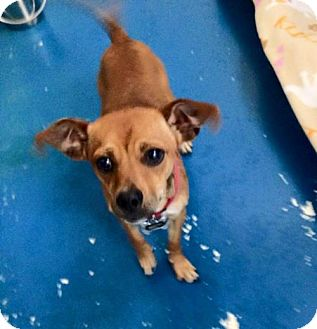 Chihuahua/Dachshund Mix Puppy for adoption in Newburgh, Indiana - Macho