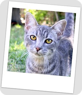 Bengal Cat for adoption in Weatherford, Texas - *JEREMIAH*