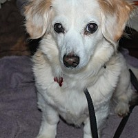 Dachshund Mix Dog for adoption in Franklin, Tennessee - KARI-SPECIAL NEEDS