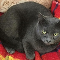 Domestic Shorthair Cat for adoption in MADISON, Ohio - Cole