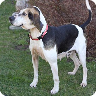 Coonhound (Unknown Type) Mix Dog for adoption in South Haven, Michigan - Beauty