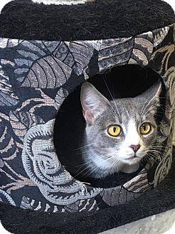 Domestic Shorthair Cat for adoption in Covington, Virginia - Elivia