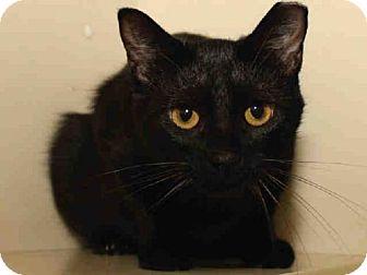 Domestic Mediumhair Cat for adoption in Pittsburgh, Pennsylvania - EBONY