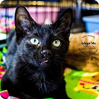 Domestic Shorthair Kitten for adoption in Charlotte, North Carolina - A..  Dustin