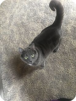 Domestic Mediumhair Cat for adoption in North Haven, Connecticut - Joyce