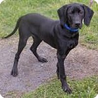Labrador Retriever/Rottweiler Mix Puppy for adoption in Fairfax, Virginia - Connor