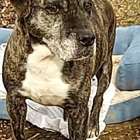 Adopt A Pet :: Phoebe - Middletown, NY