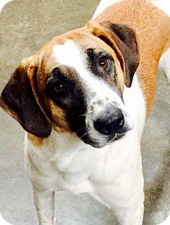 Retriever (Unknown Type)/Hound (Unknown Type) Mix Dog for adoption in Hopkinton, Massachusetts - Speckles