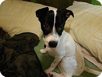 Labrador Retriever/Foxhound Mix Puppy for adoption in El Cajon, California - Cookie (in adoption process)