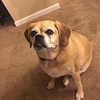 Pug/Beagle Mix Dog for adoption in Bowie, Maryland - Abby