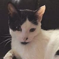 Adopt A Pet :: Chardonney - Walworth, NY