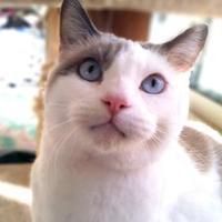 Adopt A Pet :: Celeste - Mountain Center, CA